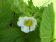 first strawberry blossom