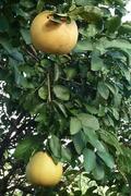 Home grown fruit