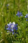 Nearby Bluebonnets
