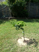 New Backyard Tree Transplants