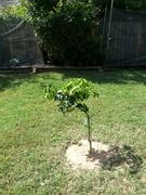 New Backyard Tree Transplants