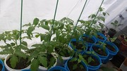 tomatopeppers