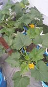 squashplant