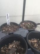 Cherry Tomato Sprouts