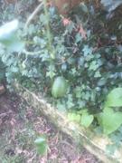 Mini cucumber? Poisonous?