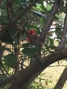 cardinals that grace the front and back gardens