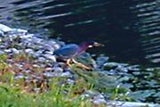 Little green heron 1