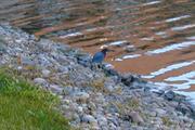 Little green heron 2