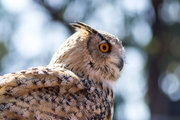 Owls are the order Strigiformes