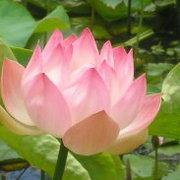 LotusFlower0