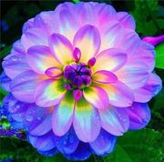Dew~y  Blossom