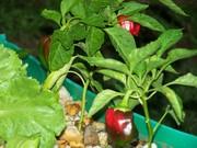 ripe sweet pepper
