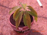 this beautiful little thing is an avacado tree, grown from seed from a supermarket avacado that i ate, yum yum