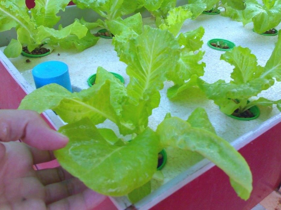 Asian lettuce