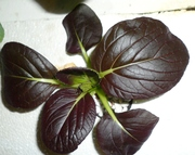 red choi