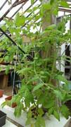 tomato GB