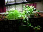 My First Indoor Aquaponic Garden