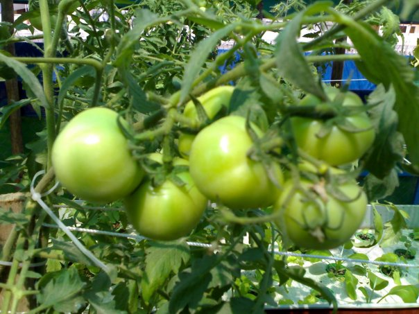 Tomatoes in DWC