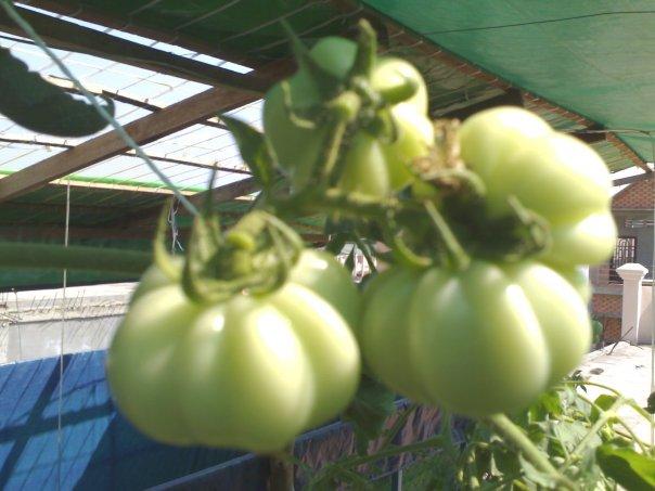 Tomatoes in DWC_n