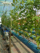 Tomatoes in NFT