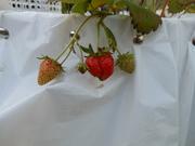 Strawberries!!!! (enough said)