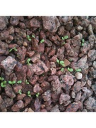fall_lettuce