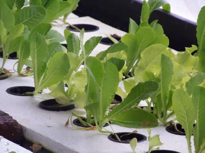 Aquaponics romaine Lettuce sprouts