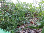 Aquaponics tomato plants