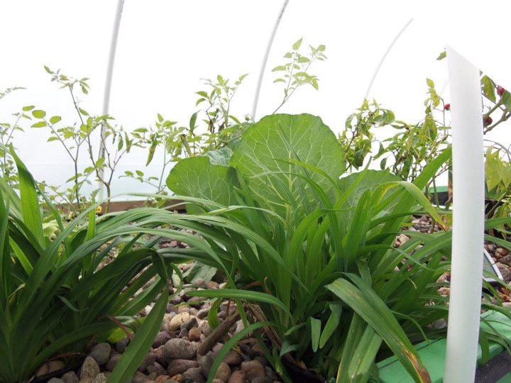 Aquaponics Cabbage