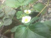 strawberries bloom