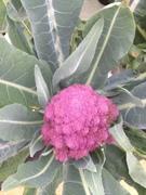Purple cauliflower flourishing