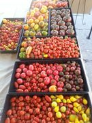 More Tomatoes we sold at our market (150lbs last weekend!)