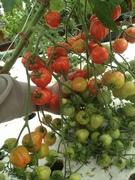 Do you speak tomato?