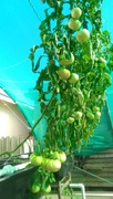 Dual Root Zone AP Tomatoes 2
