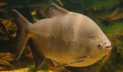 Does Anyone Grow Pacu?