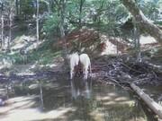 Horses at stream