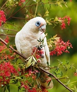 Corella Bird