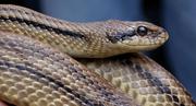 il profilo del serpente