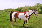 Beautiful Paint Horse Herd Dispersal