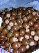 foraged acorns