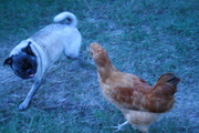 Angus and the chicken...