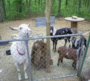 goats at the gate