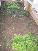 Winter lettuce