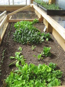 Mid-March cold frame