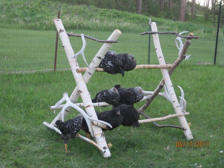 outdoor roost becoming popular