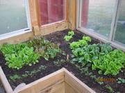 Spring Lettuces