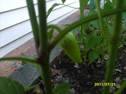 2011.0721.banana pepper