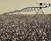 Pivot Over Defoliated Cotton