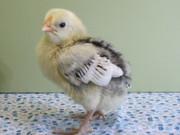 Silver Spangled Hamburg Chick