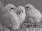 White Leghorn Chicks